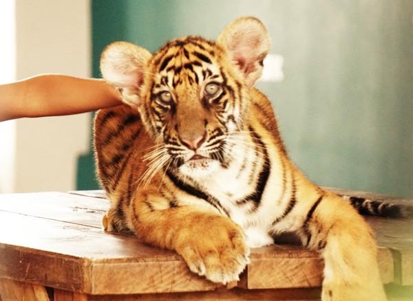 Baby tiger at Tiger Park