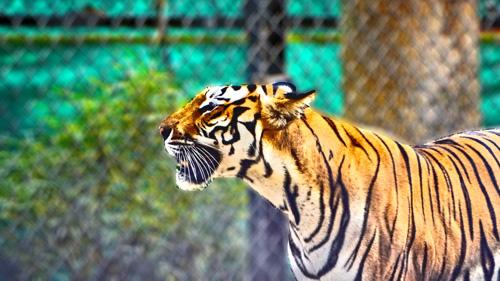 tiger bannerghatta zoo