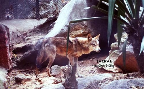Jackal