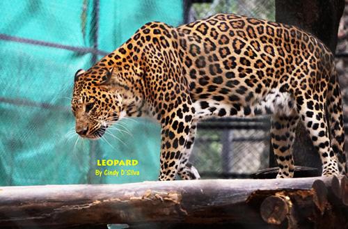 leopard bannerghatta zoo
